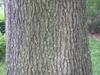 Quercus imbricaria bark