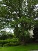 Quercus imbricaria form