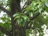 Quercus imbricaria leaves
