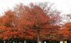 Quercus palustris