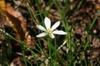 Zephyranthes - candida