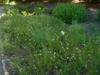 Rhexia mariana and Ipomoea pandurata in summer in Moore County