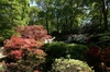 Rhododendron Knaphill and Exbury hybrids