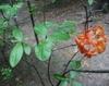 Rhododendron flammeum