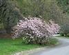 Rhododendron schlippenbachii