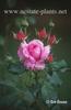 Rosa 'Rhonda'