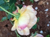 Lady of Shalott old bloom
