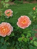 Lady of Shalott blooms and form