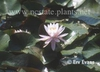 Nymphaea 'Rose Arey'