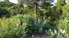 Rudbeckia Maxima in the garden
