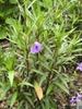 Ruellia simplex 'Purple Showers' form