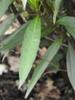 Ruellia simplex 'Purple Showers' leaves