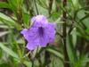 ruellia simplex 'Purple Showers' flower