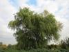 Salix matsudana var. tortuosa