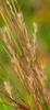Schizachyrium scoparius