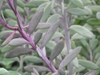 Senecio crassissimus leaves
