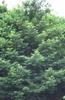 Sequoia sempervirens 'Soquel'