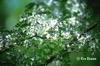 Sophora davidii = S. viciifolia