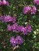 Rhododendron minus var. minus