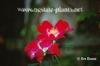 Rosa 'Souvenir de la Malmaison'