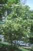 Staphylea colchica full