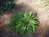 Stokesia laevis 'Stokesia Bluestone' in fall in Moore County