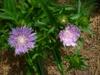 Stokesia laevis 'Stokesia Bluestone' in summer in Moore County