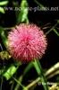 Helonias bullata
