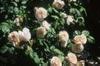 Rosa 'AUSleap'