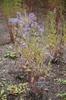 Symphyotrichum laeve 'Bluebird'