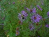 Symphyotrichum novae-angliae flowers in the fall in Moore County