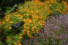 Tagetes tenuifolia 'Orange Gem' planted with thyme.