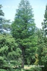 Taxodium ascends