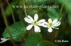 Jeffersonia diphylla