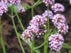 Verbena bonariensis flowers