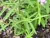 Verbena bonariensis leaves