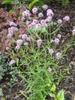 Verbena bonariensis upright form