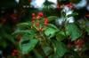 Viburnum dilatum 'Oneida'