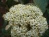 Viburnum rhytidophylloides bloom in spring