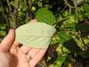 Viburnum x rhytidophylloides 'Interduke' back leaf