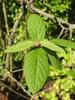 Viburnum x rhytidophylloides 'Interduke' leaves