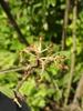 Viburnum x rhytidophylloides 'Interduke'