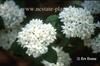 Viburnum x carlcephalum 'Cayuga'