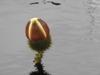 Victoria 'Longwood Hybrid' flower bud