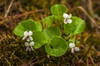 Viola renifolia