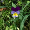 Viola tricolor leaves and flower.