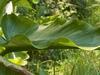 Wavy leaf margins.