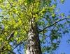 white oak in spring brunswick nature park skdavidson