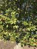 Leaves and fruits provide winter interest, Pitt County Arboretum