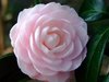 Camellia 'Winter's Rose'